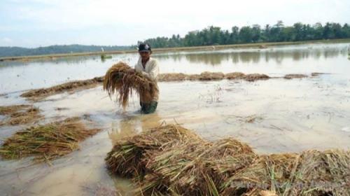 3 Ribu Hektare Sawah di Riau Terendam Banjir