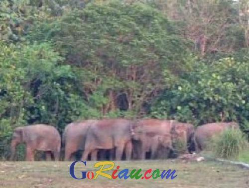 Hingga Subuh, Masyarakat Balairaja Usir Puluhan Gajah Liar dari Kebun