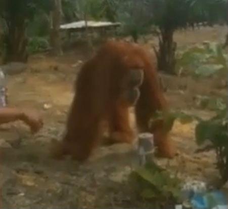 Orang Utan Muncul di Objek Wisata Bukit Selancang Inhu, Warga Sempat Khawatir