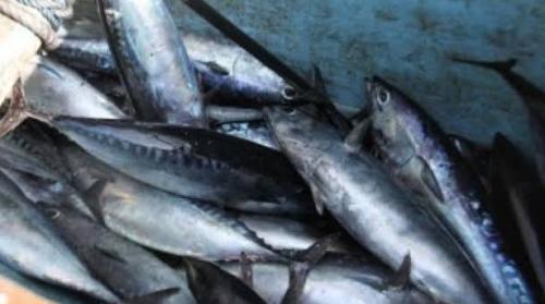 Ini Jenis Ikan Tongkol yang Sebabkan Ratusan Warga Jember Keracunan