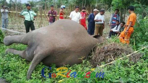 Matinya Gajah Betina Dewasa di Bengkalis, Jadi Tontonan Warga