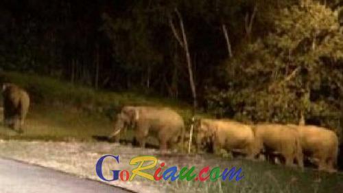 Takajuik Melihat Gajah Liar 8 Ekor Masuk Perumahan, Warga Kopelapip di Mandau Pontang-panting