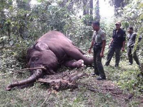 Warga Balairaja di Bengkalis Temukan Gajah Betina Dewasa Mati