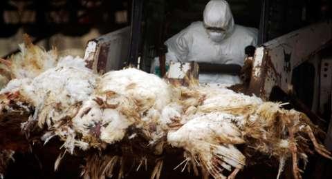 Di Tengah Teror Virus Corona, Flu Burung Mewabah di China