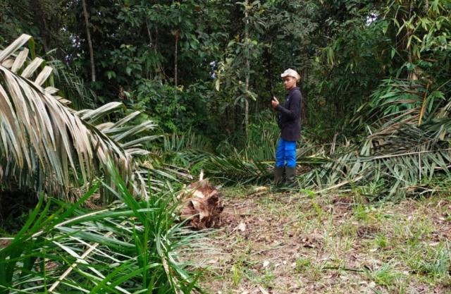 Keluar dari TNTN, Gajah Sumatra Rusak Kebun Warga di Kuansing