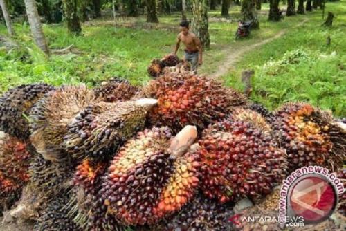 Harga Sawit Riau Naik Akibat Suplai Pasar Internasional Berkurang