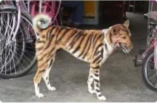 Inspiratif, Petani Ini Ubah Anjingnya Jadi Harimau untuk Mengusir Kawanan Monyet