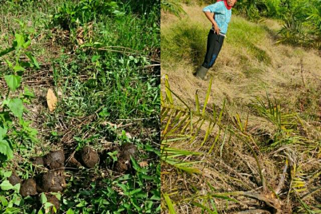 Gajah Liar Masuk Perkebunan, Rusak Tanaman Sawit Warga di Pelalawan