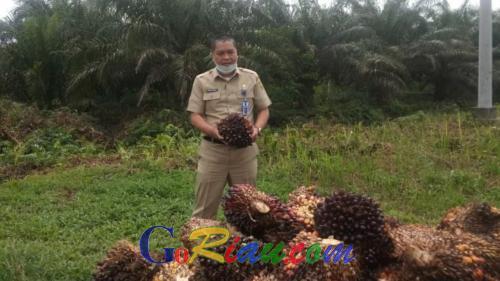 Naik Lagi, Harga TBS Kelapa Sawit di Riau Jadi Rp1.873,60 per Kg