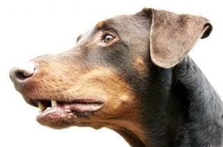 Kepala Anjing Tiba-tiba Ada di Pekarangan Rumah Humas Kejati Riau, Mispidauan: Malam Itu Saya Dengar Ada Suara Lemparan