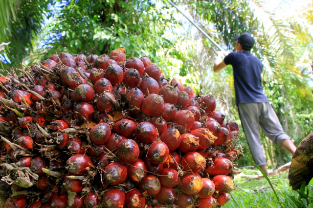 Tembus Rekor Tertinggi, Harga TBS Kelapa Sawit di Riau Dibayar Rp2.860,64per Kg