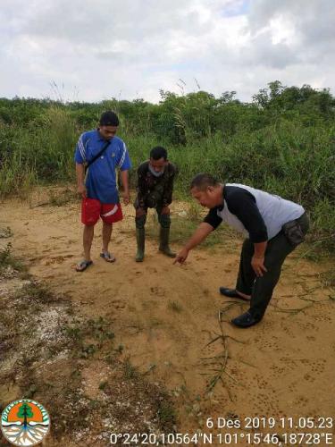 Harimau Sumatera Masih Berkeliaran di Wilayah Kualu Nanas Kampar, Begini Penjelasan BBKSDA Riau