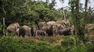 Kawanan Gajah Dikabarkan Masuk Kebun Sawit Warga di Pangkalan Gondai, Pelalawan