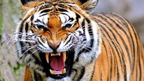 Terjadi di Muara Enim, Harimau Mendadak Lepas Cengkeraman Saat Bertatapan dengan Petani yang Diserangnya