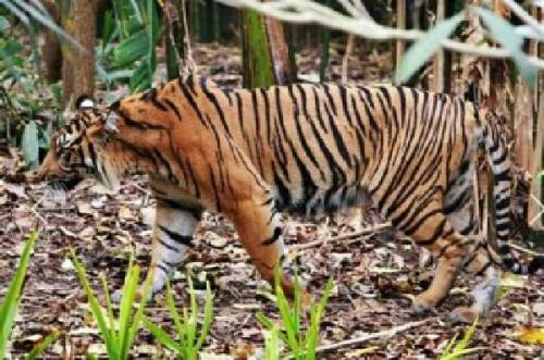 Harimau Masuk ke Pemukiman, Camat XIII Koto Kampar Ingatkan Warga Berhati-hati Saat ke Kebun, Jangan Sampai Seperti di Inhil