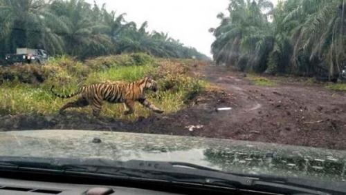 Harimau Mengamuk dan Terkam 2 Warga Inhil Bukti Arena Bermainnya Punah oleh Perusahaan, Pemda Harus Bertindak