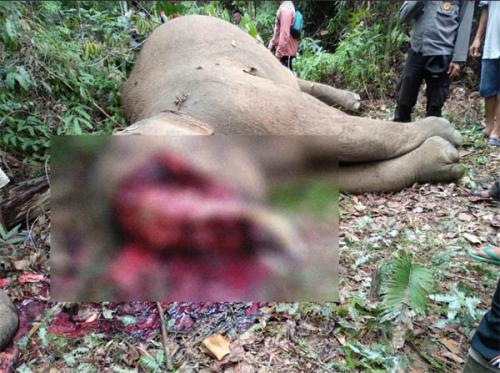 Seekor Gajah Sumatera Jantan Ditemukan Tewas dengan Kepala Tercincang di Kabupaten Inhu