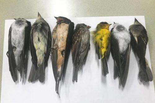 Mengerikan, Jutaan Burung Berbagai Spesies Mati Mendadak, Ilmuwan Biologi Cemas