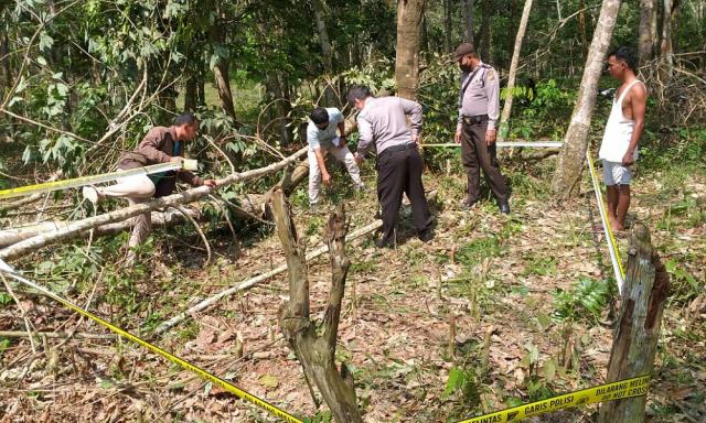 Penebang Kayu di Pelalawan Tewas Tertimpa Pohon Karet yang Ditebangnya