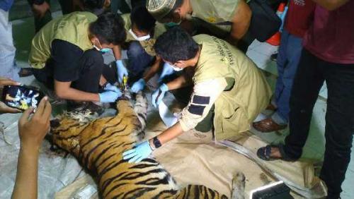 PT AA Dukung Investigasi Kasus Kematian Harimau Sumatera di Wilayah Konsesinya