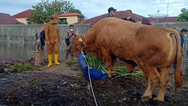 Sapi Kurban Berbobot 891,55 Kg dari Jokowi akan Disembelih di Masjid An-Nur Pekanbaru