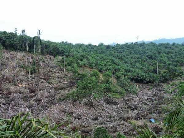 Diduga Rambah Hutan untuk Kebun Sawit di Rohil, Calon Pemimpin Bengkalis Ini Dipanggil Polda Riau
