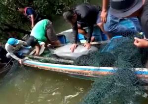 Ikan Pesut Nyasar di Sungai Segati Pelalawan Dievakuasi
