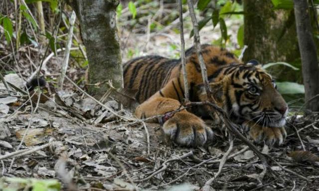 Pekerja Perkebunan di Inhil Dibuntuti Harimau, Ini Penjelasan BBKSDA Riau