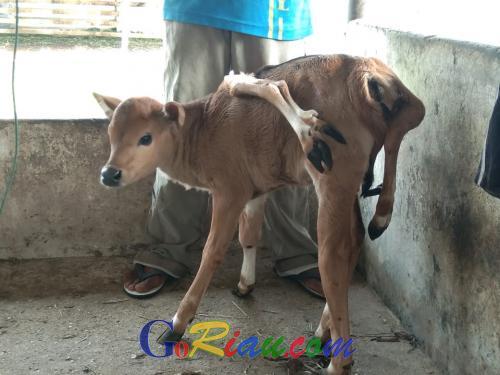 Anak Sapi Berkaki Delapan Lahir di Kandang Fapertapet UIN Suska Riau