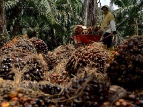 Harga TBS Kelapa Sawit di Riau Naik Tipis Rp31,06 per Kilogram