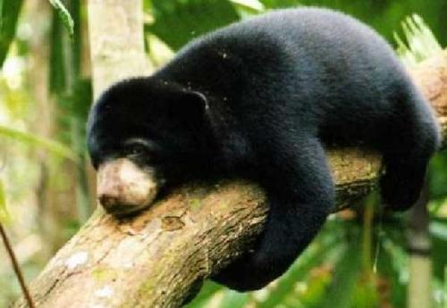 Satu Hari Terperangkap di Belakang Rumah Warga Batangtuaka Riau, Seekor Beruang Madu Berhasil Diselamatkan
