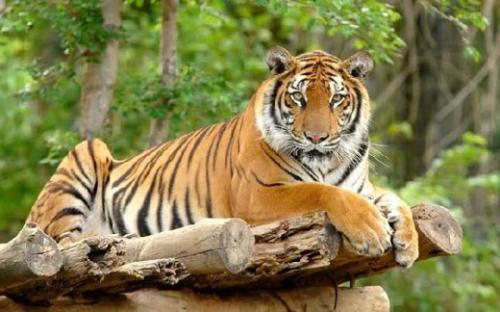 Diterkam Harimau, Karyawan PT RIA di Inhil Meninggal Dunia