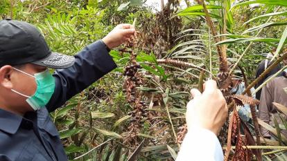 Panen Jernang di Kuansing, Kadis LHK Riau: Hasilnya Satu Hektare Jernang Sama dengan 15 Hektare Sawit