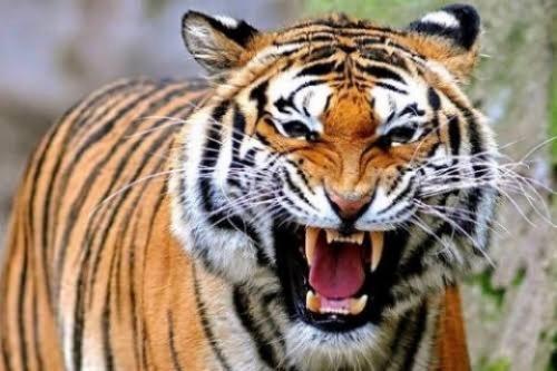 Diterkam Harimau, Warga Pelangiran Inhil Dikabarkan Meninggal Dunia