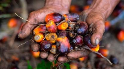 Harga Kelapa Sawit di Riau Meroket Tembus Rp3.244,57 per kg