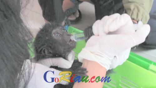 Breaking News: 6 Ekor Kukang, Seekor Siamang dan Owa Ditemukan dalam Kondisi Memprihatinkan di Pasar Palapa