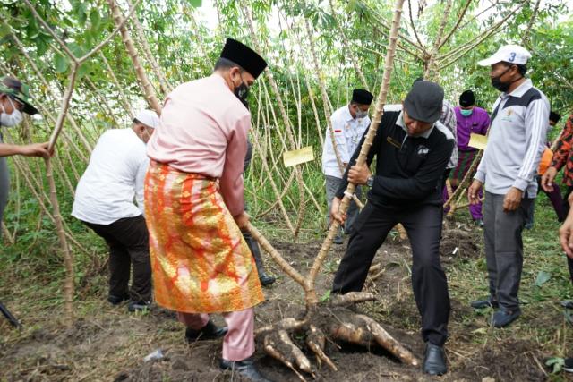 Panen Raya Ubi Casesa di Gasib, Pjs Bupati Siak Minta Perusahaan Beli Harga yang Pantas