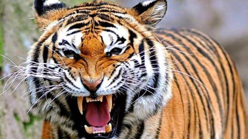 Diterkam Harimau Saat Mandi, Sulistiowati Tewas dengan Tubuh Tercabik-cabik