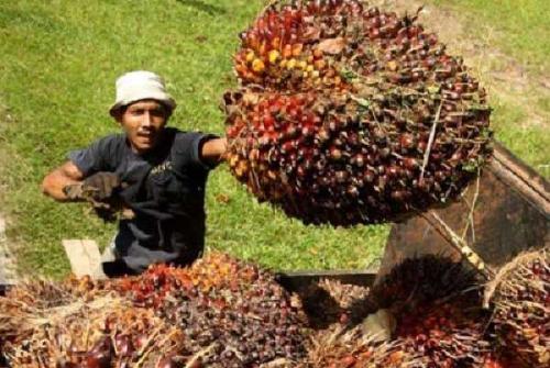 Waduh, Harga TBS Sawit Riau Turun 6 Kali Lipat