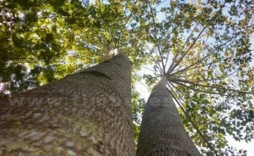 Riau akan Tanam 6.000 Bibit Pohon Tahan Api