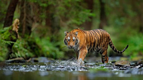 Ketakutan, Warga Minta Pemerintah Tangkap Harimau Sumatera yang Tewaskan Pemuda di Inhil